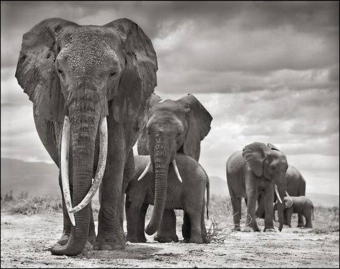 Elephants family migrating