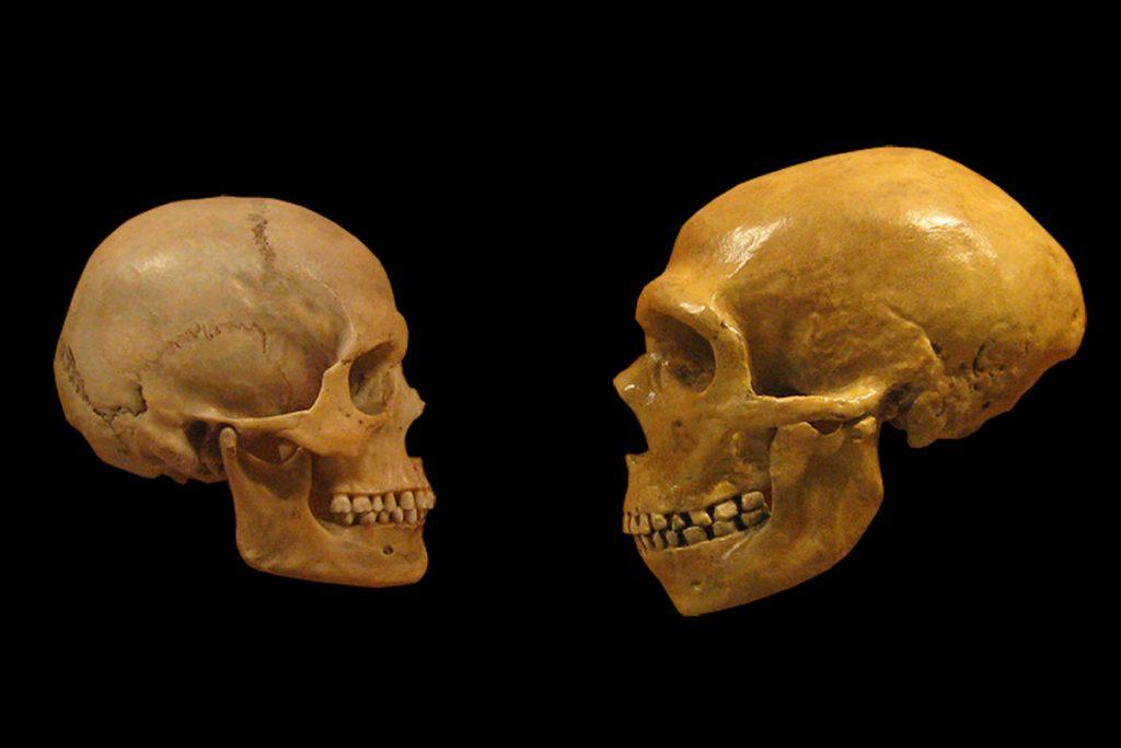 Neanderthal- skull