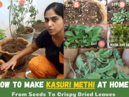 How To Make Kasuri Methi At Home In Tamil | Kasoori Methi Making - From Seeds To Crispy Dried Leaves
