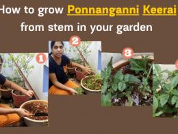 How to grow Ponnanganni Keerai from stem in your garden | Organic gardening | Alternanthera Sessilis