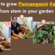 How-to-grow-Ponnanganni-Keerai