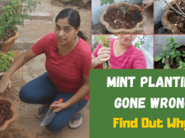 Mint Planting Gone Wrong | Growing Mint from stem | Find Out What Went Wrong