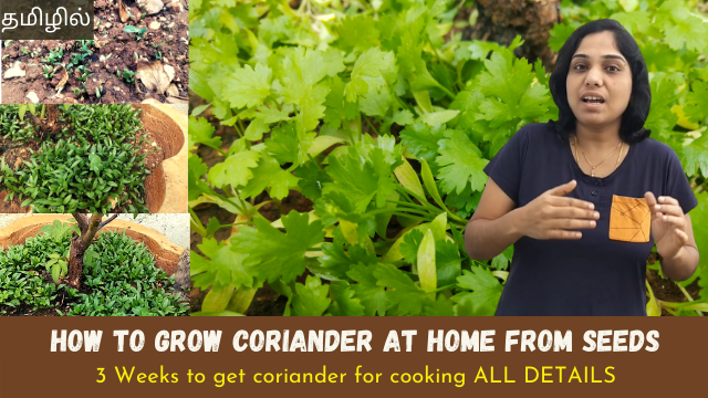How-to-grow-coriander-at-home-from-seeds