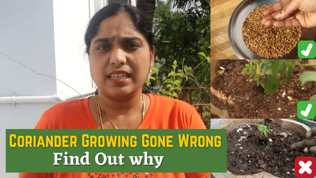 Coriander Planting Gone Wrong in Tamil! Coriander growing at home from seeds failed Find Out Why