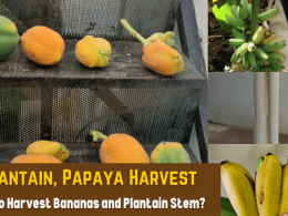 Plantain, Papaya Harvest In My Small Home Garden - How To Harvest Bananas and Plantain Stem?