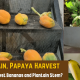 Harvest-Bananas-and-Plantain-Stem