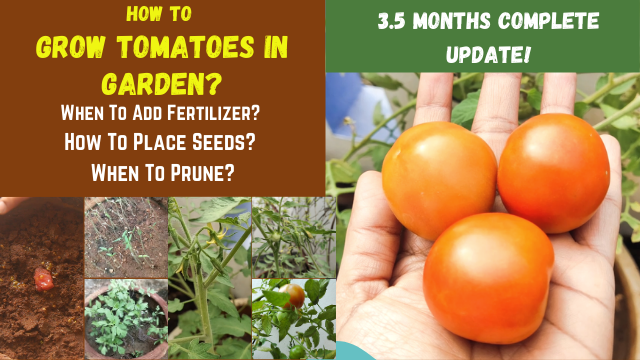 Grow-Tomatoes-In-Garden