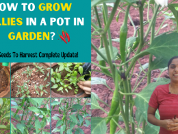 How To Grow Chillies In A Pot In Garden? From Seeds To Harvest Complete Update! Gardening Tips