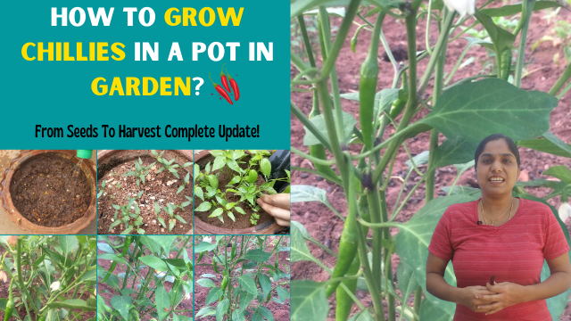 How-To-Grow-Chillies-In-A-Pot-In-Garden